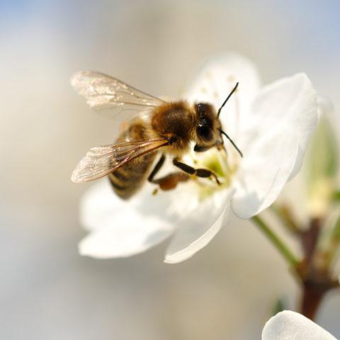Une belle abeille butinant une fleur blanche