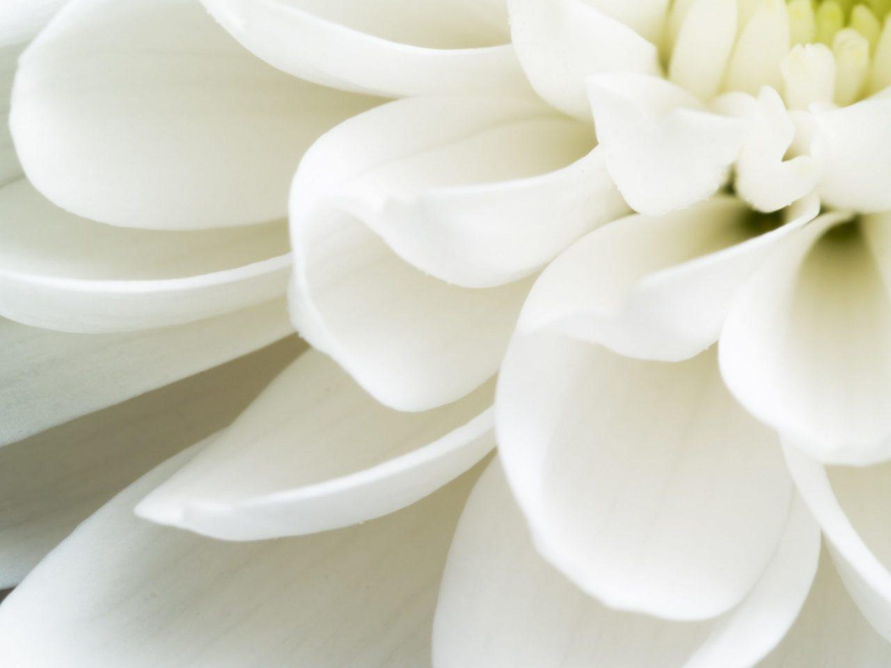 Gros plan sur une chrysanthème blanche
